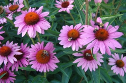 Study Shows Echinacea Not Effective For The Common Cold
