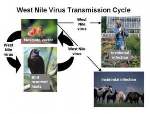 West Nile Virus (WNV) Vaccine Being Tested In Humans