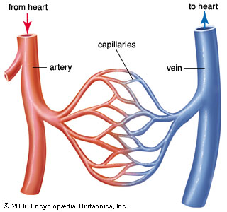 study guide for the blood vessels and blood circulation Biology 12 - circulation study guide raycroft study guide - circulationdoc - page 1 of 1 1 what are the three types of blood vessels in the circulatory system what are the functions of each.