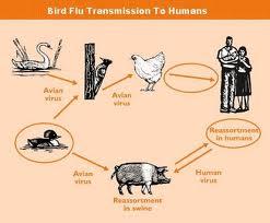 Bird Flu Can Affect Humans