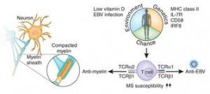 Epstein-Barr Virus Responsible For Multiple Sclerosis