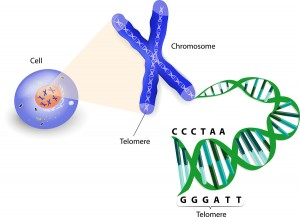 Telomere Length A Telltale Sign Of Aging