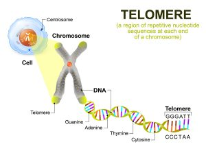 Prevention Of Telomere Shortening