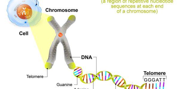 Prevention Of Telomere Shortening
