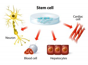 Young Heart Stem Cells Can Cure Old Hearts
